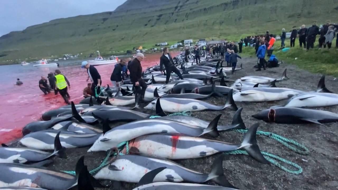 """""""لم يسبق أن قُتِل هذا العدد الكبير من الدلافين والحيتان التجريبية في مذبحة جزر فارو"""""""